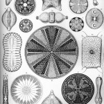 Diatomea_by_ernst_haeckel