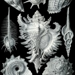 Haeckel_Prosobranchia