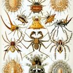 427px-Haeckel_Arachnida