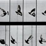 flying-bird-eadweard-muybridge