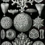 429px-Haeckel_Hexacoralla