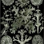 430px-Haeckel_Lichenes