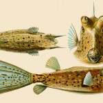 Amazing-Beautiful-Old-Biology-Science-Drawings-1904-by-Ernst-Haeckel-Fishes